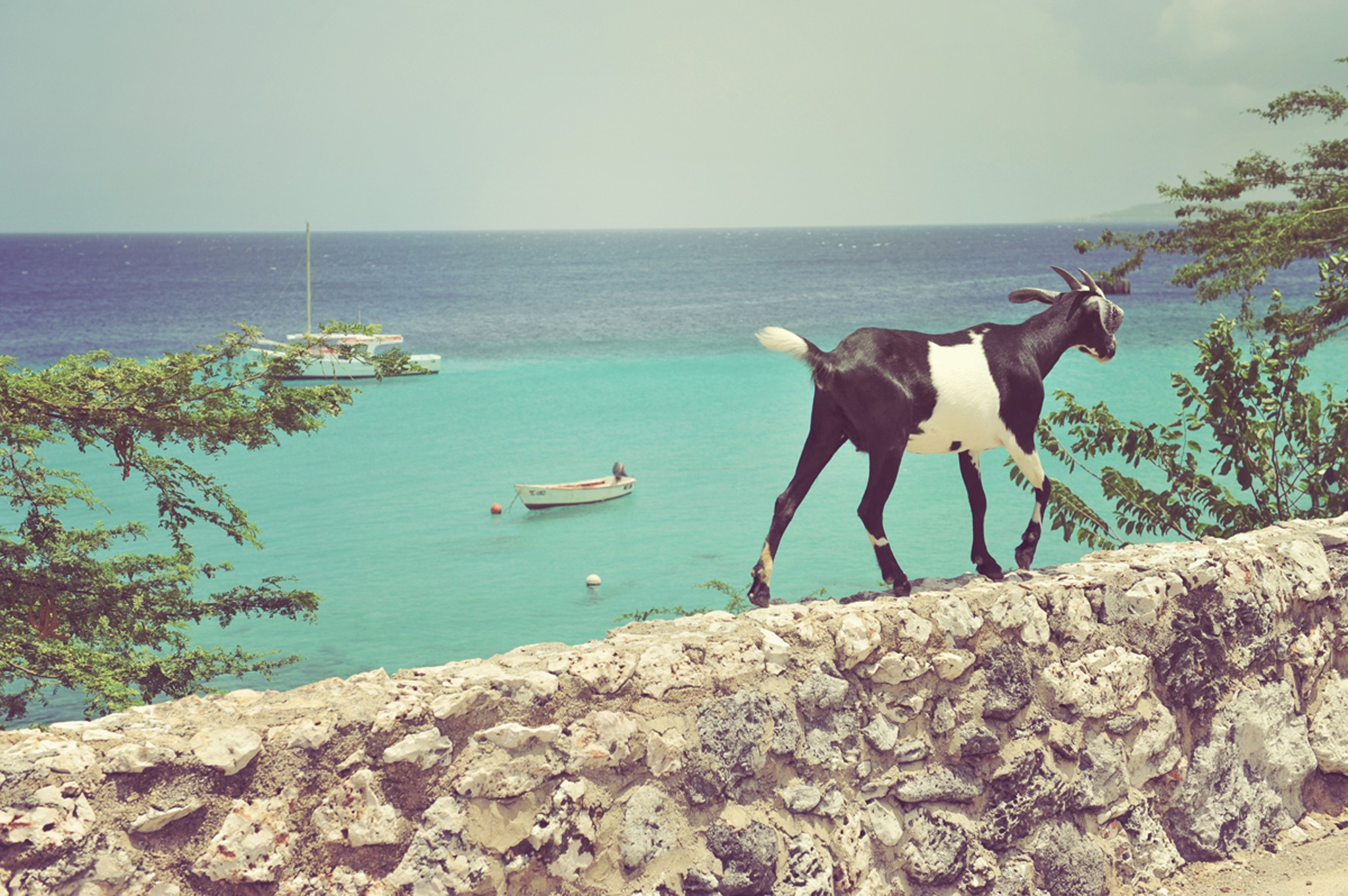 kleincuracao_caribbean_destination_Nature_Goat